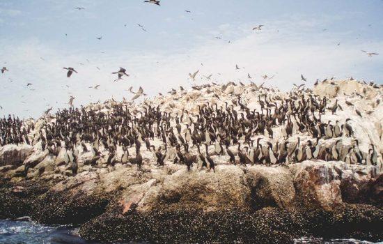 Pingüinos en las Islas Ballestas